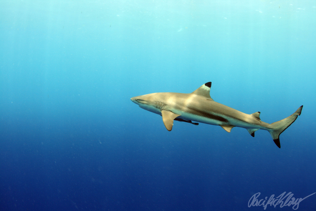 shark in palau by klaus stiefel