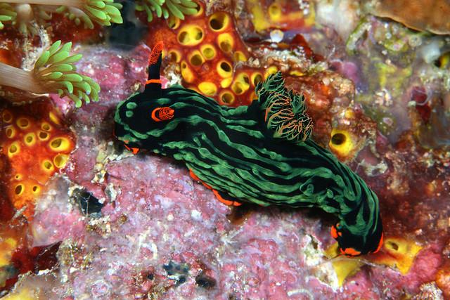 Nembrotha kubaryana, a sea slug I found in Mactan, Cebu, Philippines.