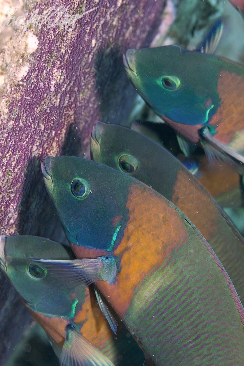 Hawaiian saddle wrasses feeding on Sergeant damselfish eggs.