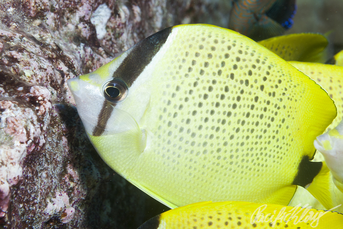 Spreckled Butterflyfish, also having a good meal on damselfish eggs.