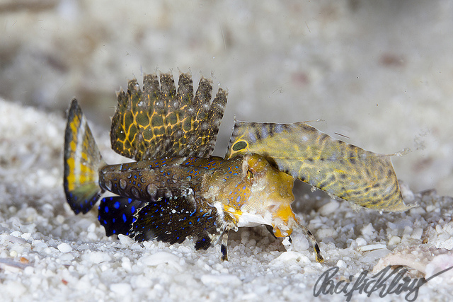 A juvenile fingered dragonet, seen at the Evolution house muck.