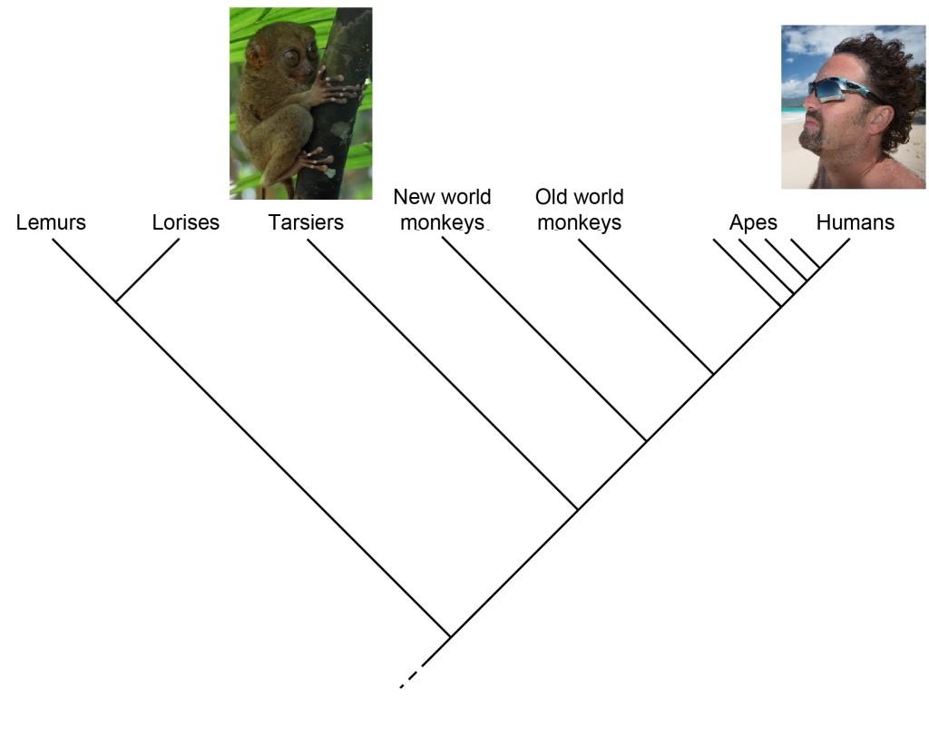 Primate_cladogram